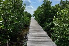 Mangrove Trekking