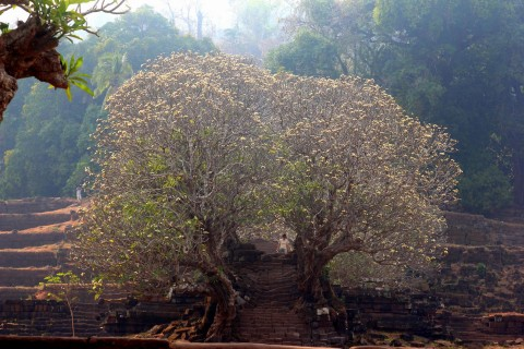 Even in dry season the frangipani trees are stunning. Photo taken in or around Wat Phu, Champasak, Laos by Adam Poskitt.