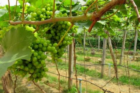 Battambang Winery