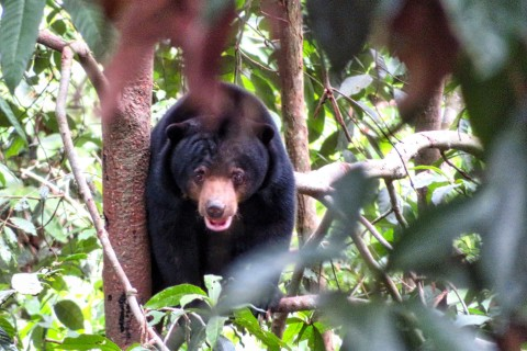 Yes, we said cute. Photo taken in or around Borneo Sun Bear Conservation Centre , Sandakan, Malaysia by Sally Arnold.