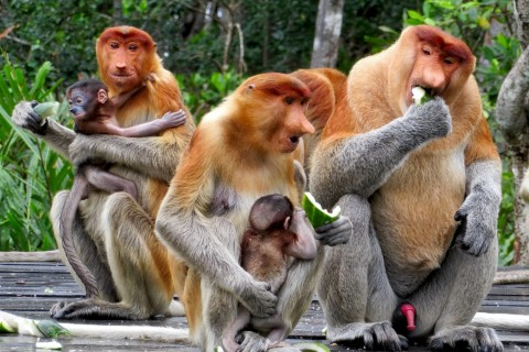 It's real. Photo taken in or around Labuk Bay Proboscis Monkey Sanctuary, Sandakan, Malaysia by Sally Arnold.